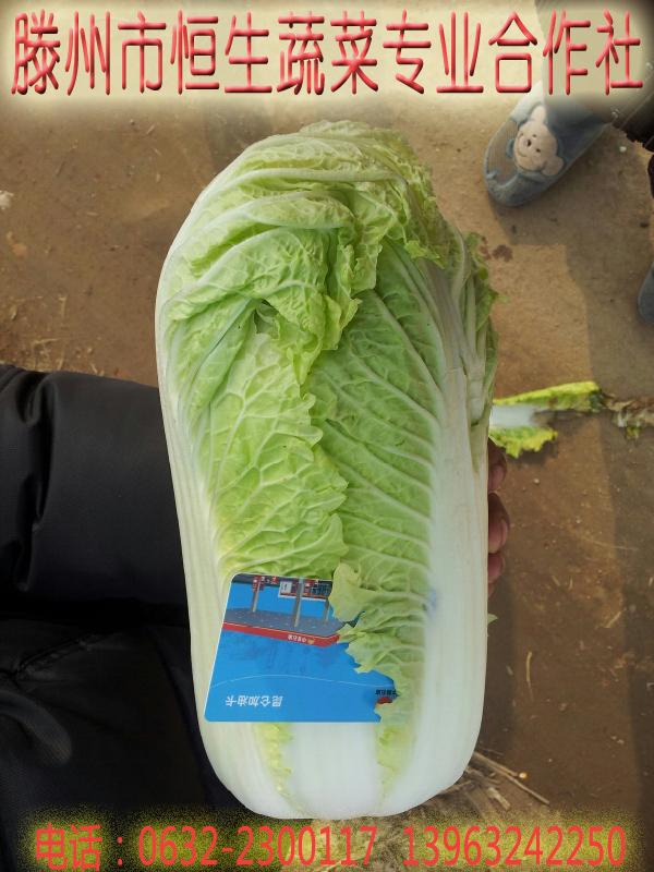 大白菜 山东滕州大白菜 蔬菜 大白菜图片